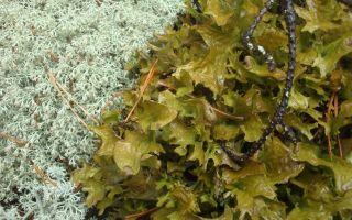 Ирландский мох от кашля: положительные и отрицательные стороны