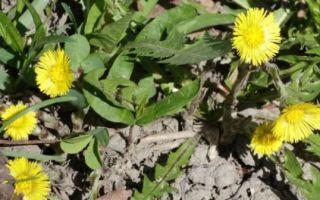Мать-и-мачеха от кашля: правила применения растения в лечении