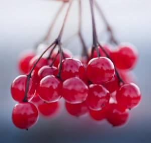 Калина от кашля: полезные свойства и особенности ее применения