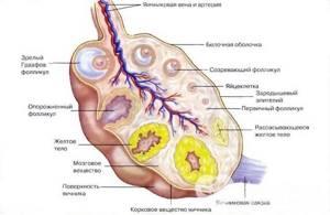 Симптомы и основные виды дисфункциональных нарушений в яичниках