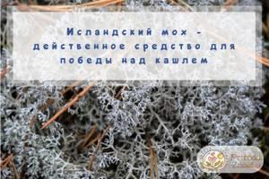 Как правильно принимать натуральный исландский мох от кашля
