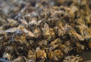Лечение простатита пчелиным подмором: рецепты полезных средств