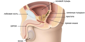 Предстательная железа: размеры мужского органа и допустимая норма