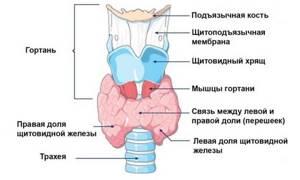 Кашель при щитовидке: симптомы и подходы к лечению проблемы