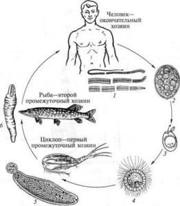 Симптомы дифиллоботриоза и методы лечения глистной инвазии