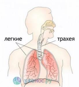 Трахеидный кашель: чем лечить и какими признаками сопровождается