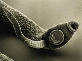 «bactefort»: капли против паразитов и для восстановления организма